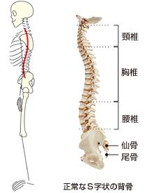 img_backbone_bone